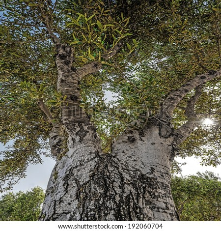 old olive tree - stock photo