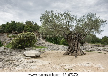 Old olive tree at Provance, southern France