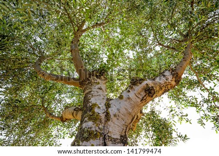 old olive tree close up - stock photo