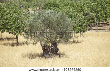 Old olive tree in Spain. - stock photo