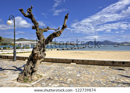 Old olive tree on the promenade of Port de Pollenca, Mallorca, Balearic Islands, Spain, Europe - stock photo