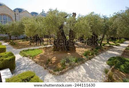 Old olive trees in the garden of Gethsemane on the mount of olives in Jerusalem. The garden of Gethsemane is next to the church of all nations - stock photo