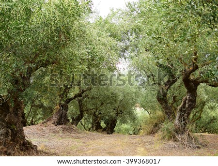 Old olive trees in Zakynthos island, Greece