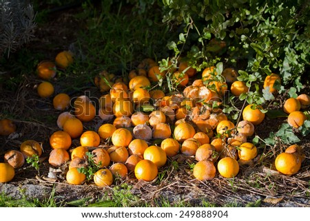 old oranges - stock photo