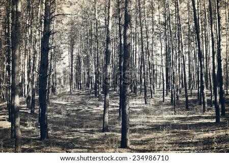 Old photo of the pine forest - stock photo