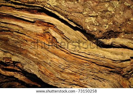 Old pine tree texture - stock photo