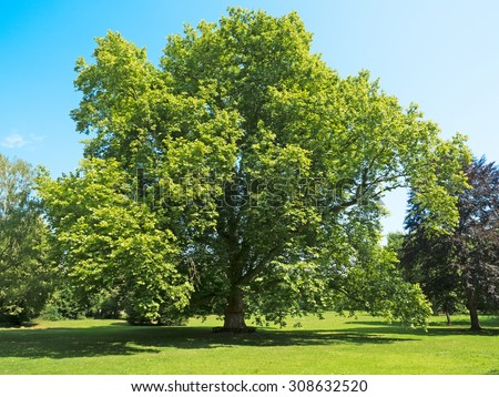 old plane tree of enormous age and dimensions - stock photo