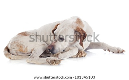 old pointer in front of white background