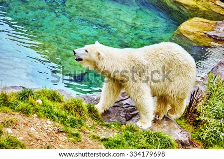 Old polar white  bear in his  natural habitat. - stock photo