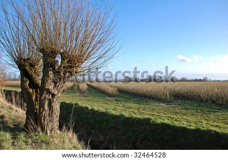 Old  pollard willow tree and black currant bushes under the blue sky of a dutch scenic landscape - stock photo