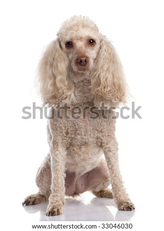 Old Poodle sitting (13 years old) in front of a white background