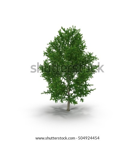 Old Poplar tree isolated on white. 3D illustration