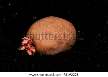 Old potato with sprouts in black soil - stock photo