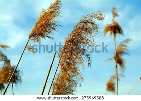 old reed sky - stock photo