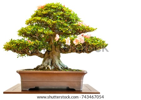 Old Rhododendron bonsai tree with flowers white isolated
