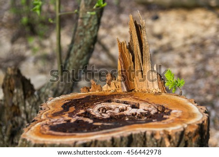 Old rotten stump and tender sprout sapling - stock photo
