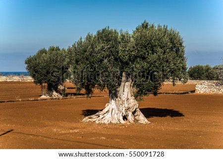Old scenic olive trees on the seaside in Puglia region, Italy
