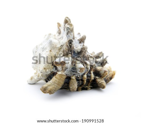 old sea shell isolated on white background - stock photo