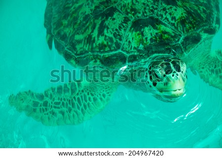 Old sea turtles in green pool   - stock photo