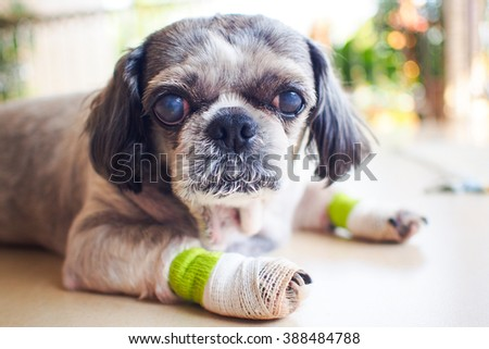 Old shih tzu dog legs pain  - stock photo