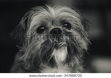 Old Shih Tzu Dog Portrait - stock photo