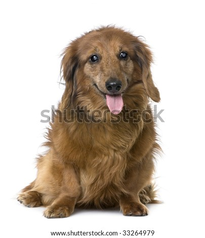 old sightless dog sitting : Dachshund (15 years old) in front of a white background