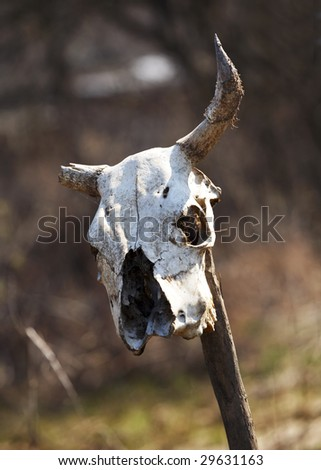 old skull of a cow with a broken horn - stock photo