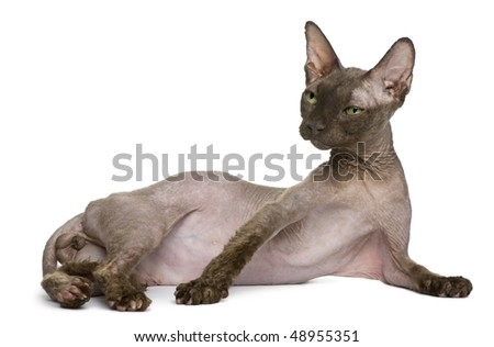 Old Sphynx cat, 12 years old, lying in front of white background - stock photo