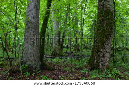 Old spruce and oak in natural late summer stand of Bialowieza Forest among juvenile trees - stock photo