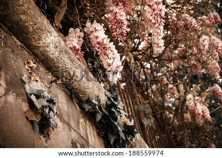 Old stone wall of abandoned manor overgrown with blooming Wisteria flowers . Light and shadow. Summer. Aged photo. Sepia. - stock photo