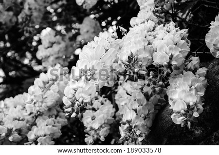 Old stone wall of abandoned manor overgrown with blooming Wisteria flowers . Light and shadow. Summer. Aged photo. Black and white. - stock photo