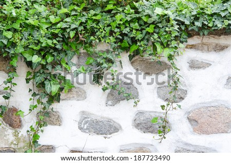 Old stone wall, plaster and green ivy - stock photo