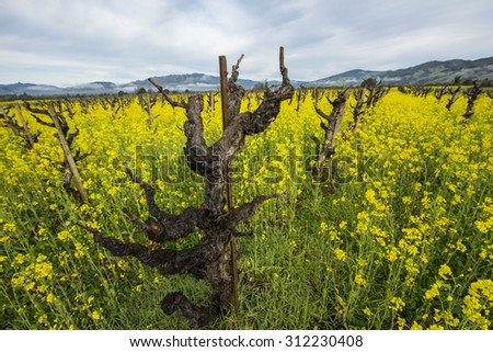 Old style grape vineyard, organically grown and without support trellises (wires), with yellow mustard between the rows.  California wine country.  - stock photo