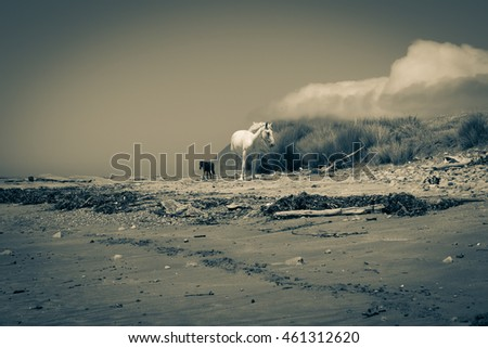 Old style image reflecting the isolation of the region two horses one white one black roam along East Coast beach near Te Araroa New Zealand