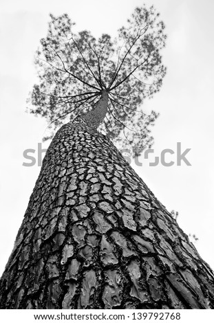 Old tall pine - stock photo