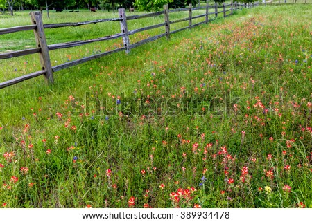 Old Texas Wooden Fence in a Beautiful Field Full of Bright Orange Indian Paintbrush and Other Wildflowers in Texas.  Castilleja foliolosa. - stock photo