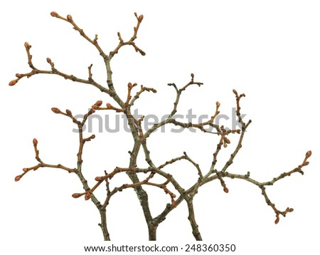 Old tree branch with young buds on a white background - stock photo