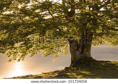 Old tree by the Bohinj lake, Slovenia, softly light - stock photo