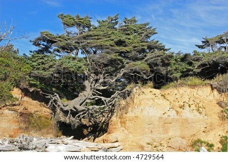 Old tree clinging precariously to cliff at Kalaloch Beach in Olympic National Park, USA