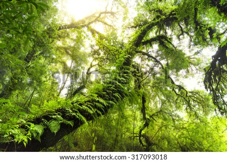 Old Tree, Green forest in Northern of Thailand, Chiang Mai. - stock photo