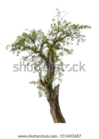old tree isolated on white background