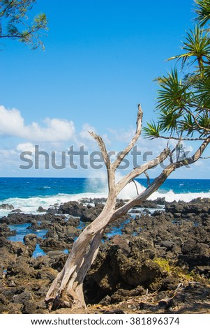 Old tree standing on a rocky coast by the Pacific ocean on the island of Maui, Hawaii. - stock photo
