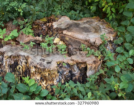Old tree stump covered with lush green leaves in a forest - stock photo