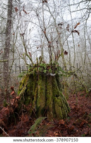 Old tree stump with new growth on top in winter time