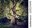 Old tree sycamore - stock photo