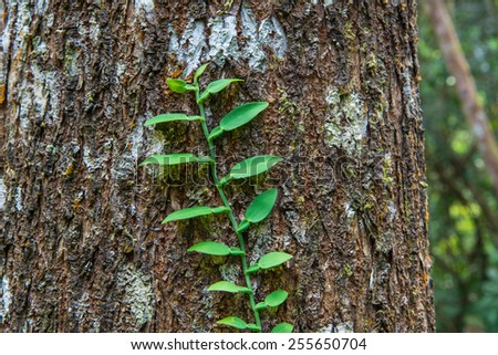 Old tree with green vine on it, creeper plant growing around tree - stock photo