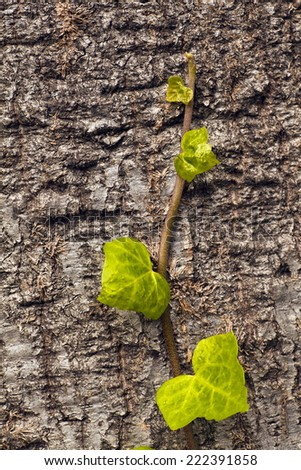 Old tree with green vine on it, creeper plant growing around tree, cork oak and ivy - stock photo
