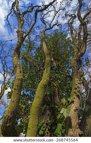old tree with ivy - stock photo