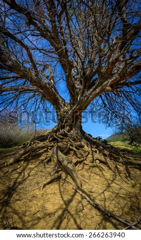 old tree with no leaves and strong roots  - stock photo