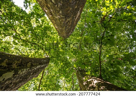 old trees - plane trees - stock photo
